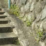 階段の雑草