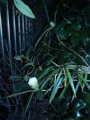 石楠花の蕾