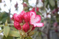 石楠花咲き始める